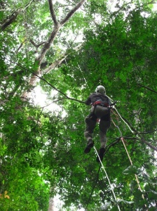 A researcher is shown climbing into the canopy of a primary forest in Southern Cameroon to measure tree height and crown dimensions. Photo: Courtesy of authors.